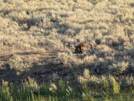 resting mother grizzly bear and cubs in the lamar valley of yellowstone