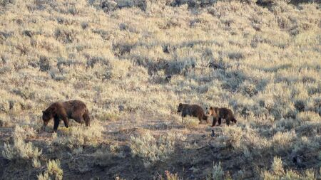 a grizzly bear and her cubs in the lamar valley, yellowstone