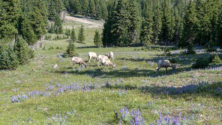 wide view of bighorn sheep grazing among purple lupine wildflowers on mt washburn