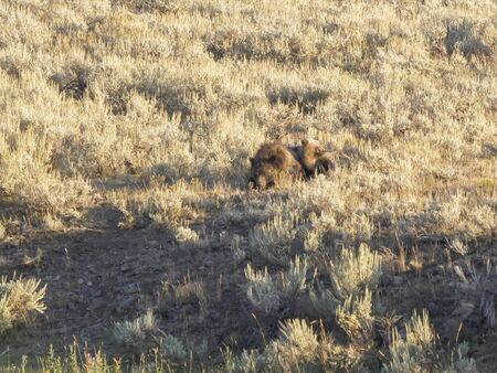 grizzlies resting in summer at yellowstone national park 스톡 콘텐츠