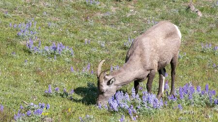 a high angle shot of a bighorn sheep grazing on mt washburn in yellowstone national park