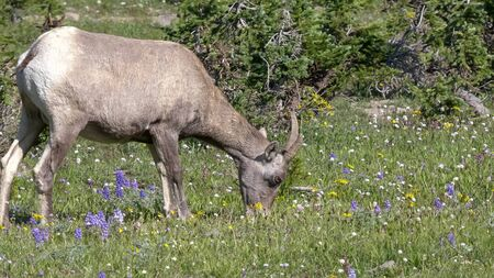 bighorn sheep among wildflowers on mt washburn in yellowstone