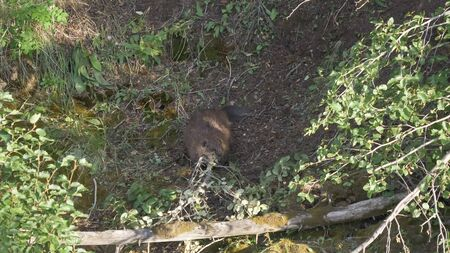 a beaver hauling a branch in yellowstone 스톡 콘텐츠