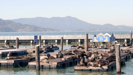 wide shot of california sea lions at pier 39 in san francisco