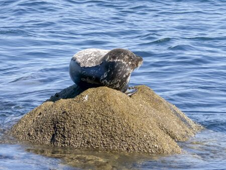 harbor seal on a rock looking around at monterey bay in california