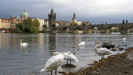 white swans preening with the charles bridge in the distance at prague, czech republic