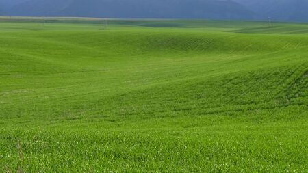 field of young green wheat in idaho