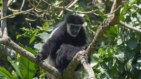 a black and white colobus monkey lin a tree looking at the camera 写真素材