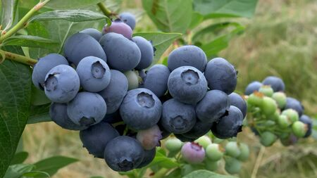 close of a cluster of ripe blueberries near bellingham wa Stock Photo