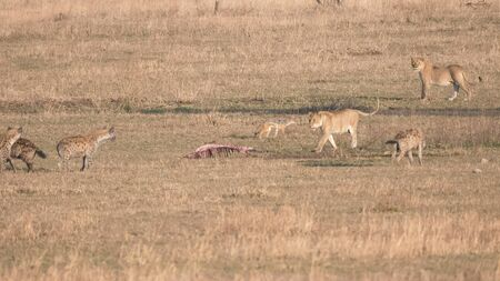 a lioness approaching a carcass surrounded by hyena and jackals at serengeti