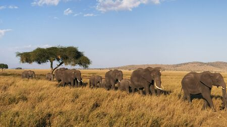 elephant herd in single file approaching at serengeti