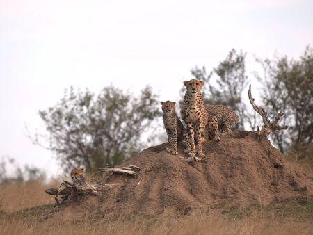 cheetah mum and cubs sit on a termite mound in masai mara