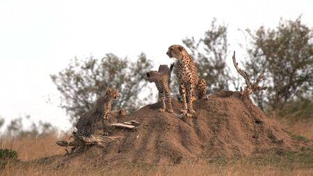 cheetah cubs climb onto a termite mound with mum at masai mara