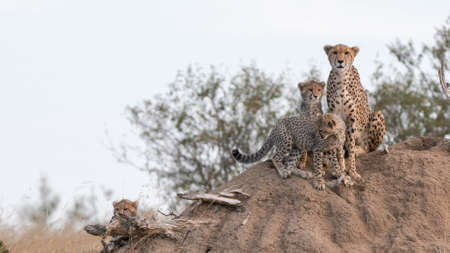 a cheetah family use a termite mound as a lookout to spot prey in masai mara national reserve in kenya