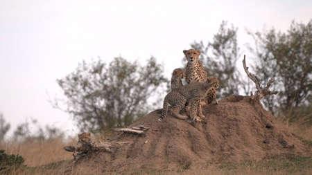 a cheetah and cubs on a termite mound at masai mara