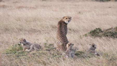 a rear view of a mother cheetah with three cubs at masai mara