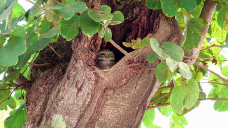 spotted owlet in a tree hollow at agra 免版税图像