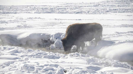 winter shot of a bison drinking from the lamar river in yellowstone
