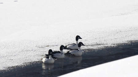 flock of common goldeneye ducks take flight from a snow covered yellowstone