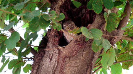 spotted owl sleeping in a tree hollow at agra 免版税图像