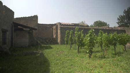NAPLES, ITALY- JUNE, 13, 2019: replanted vineyard at pompeii 新闻类图片