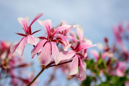 geranium color: rose geranium with sky background
