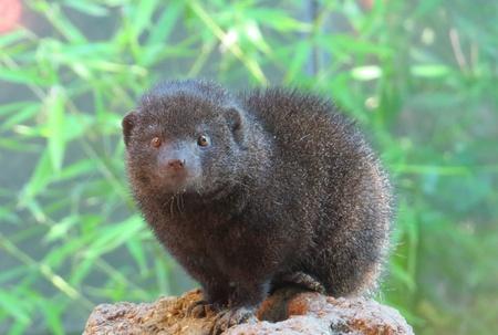 mongoose: Cute Dwarf Mongoose