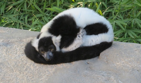 Black and White Ruffed Lemur Resting