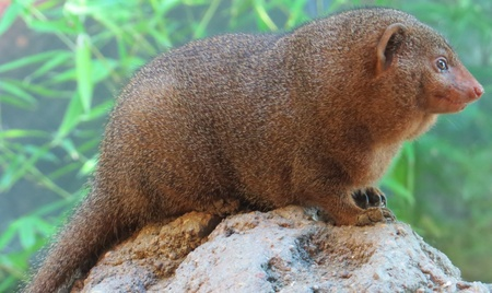 Female Dwarf Mongoose