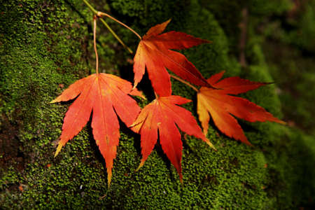 autum: Autum leaves green on moss