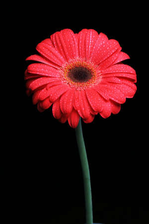 thrive: isolated red gerber on black Stock Photo