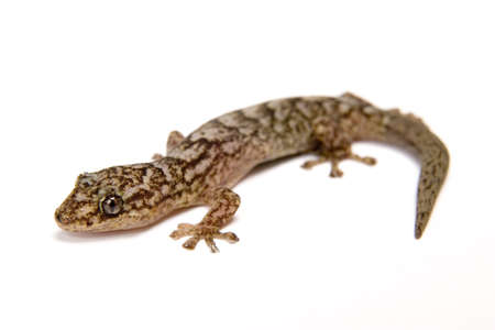 camoflauge: Gecko isolated on white surface