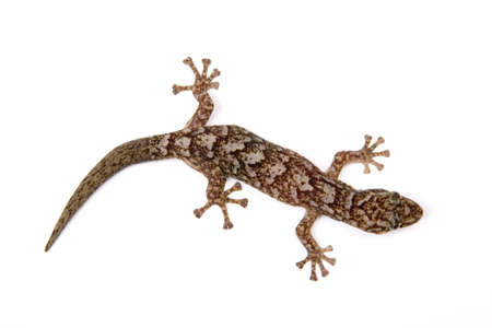 Gecko isolated on white surface