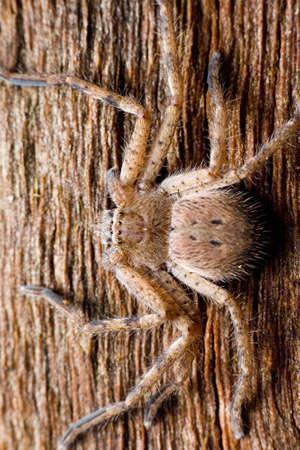 anthropomorphic: Hunsman spider real close up
