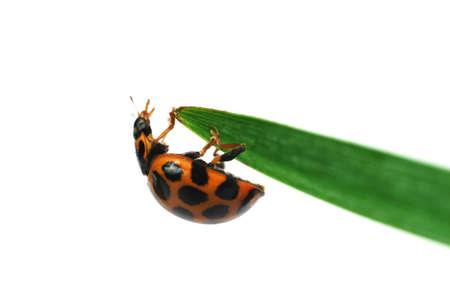 Ladybird on blade of grass Stock Photo - 521092