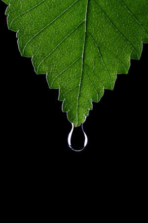 Green leaf with water droplet at the tip