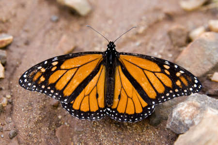 dirt on ground: Monarch butterfly on dirt ground Stock Photo