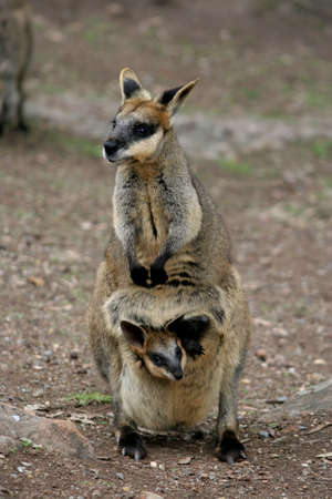 Wallaby with  inide pouch