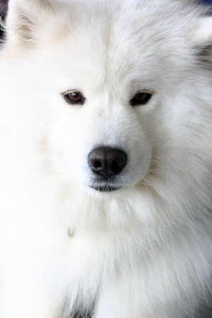 horizontals: Closeup shot of white dog