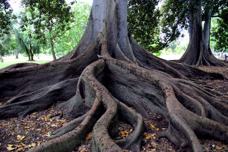 Curvey tangled fig trees roots
