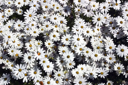 wooing: Many white daisies with yellow centers Stock Photo