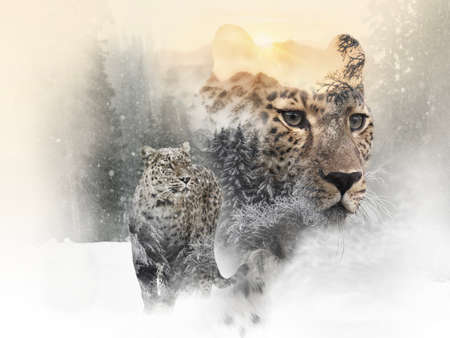 Double exposure of snow Leopard and frozen forest with snowfall and sunny mountains behind