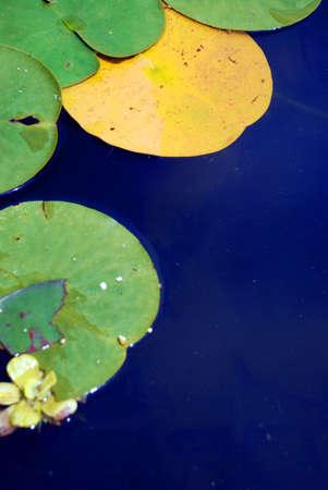 lilies photo