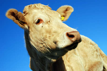 cow Stock Photo - 2460368
