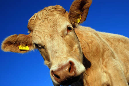 cow Stock Photo - 2460373