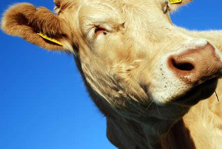 cow Stock Photo - 2460371