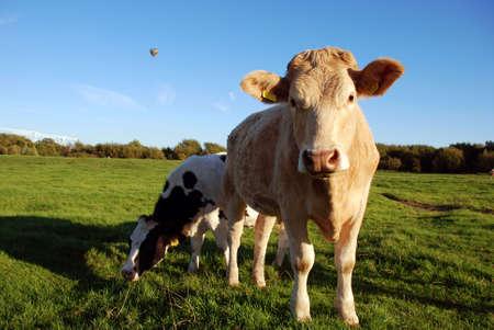 cow Stock Photo - 2460372