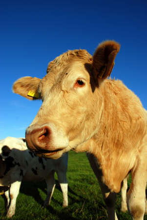 cow Stock Photo - 2460367