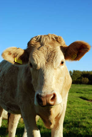 cow Stock Photo - 2460366