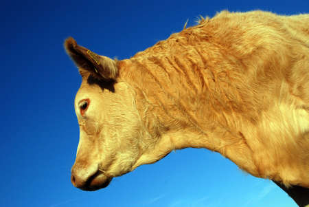 cow Stock Photo - 2460374